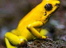 Golden Poison Frog Things That Will Kill